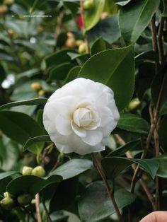 Camellia – wintergroene heester uit de 'theefamilie', die van zure (veenachtige) grond houd. Door het veranderende klimaat steeds beter toe te passen in onze tuinen, heeft vroeg in het voorjaar opvallende bloemen.
