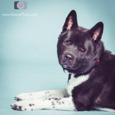 ADOPTED!! Akiro - Akita - 3 yrs old - Male -  Powell Animal Welfare Society - Powell, OH. -  http://www.powellpaws.org/adopt-a-dog-powell-animal-welfare-society - https://www.facebook.com/Powell-Animal-Welfare-Society-PAWS-131651035812/timeline/?ref=mf - http://www.adoptapet.com/pet/12370480-powell-ohio-akita - http://www.petango.com/Adopt/Dog-Akita-18699872 - https://www.petfinder.com/petdetail/29707768