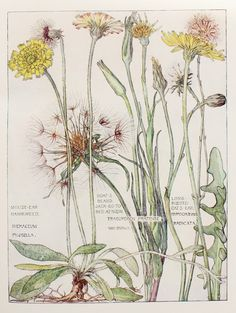 isabel adams botanical - Google Search