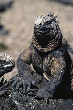 Galapagos land Iguana - Who says dinosaurs are extinct!