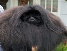 champion pekingese picture | pekingese animals