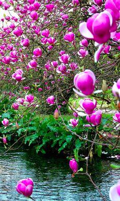 Chinese magnolia at Ninfa in Cisterna di Latina, central Italy • photo: Frank Stahlberg