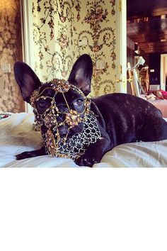 Asia Lady Gaga's Dog