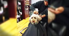 When this barber's fur-baby needed a new hair-do he did the cutest thing. And seeing this pup sitting in the chair made me all kinds of giggly! How do you spoil your fur babies? Tell us below!