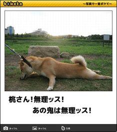 画像 Shiba, Corgi, Jokes, Japanese, Shit Happens, Cats, Funny, Animals, Humor