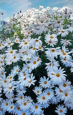 """I would like a garden of the daisy known as """"Darling Shasta Daisies"""" Smaller than other Shastas and they bloom all summer long! Happy Flowers, Flowers Nature, White Flowers, Beautiful Flowers, Arrangements Ikebana, Shasta Daisies, Sunflowers And Daisies, Field Of Daisies, Daisy Field"""