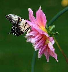 Swallowtail butterfly deep in a dahlia. #pollin8rchat Tuesdays 8pm CT thegardenbuzz.com