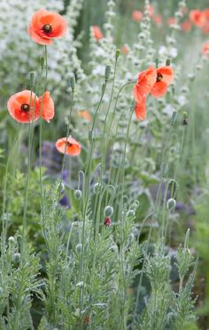 Papaver dubium, an annual poppy in the Gravel Garden at Chanticleer Garden, PA. | Photo by Lisa Roper