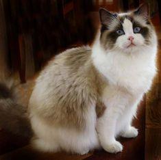Gorgeous bicolor Ragdoll cat.
