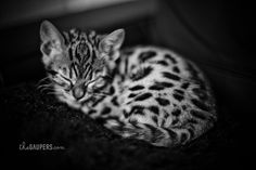 ~Bengal Kitten~  I've been researching this breed and NOW I'm obsessed!  Domestic, but not your everyday housecat!  Very active, interactive, and extremely intelligent.
