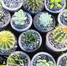 Little pots of succulents.