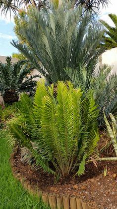 E.heenanii Nov.2016 African Plants, Nov 2016, Hardy Plants, Noblesse, Plant Species, Garden Trees, Tropical Plants, Planting Succulents, Ferns