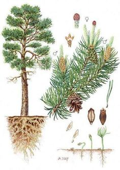 Garden Drawing, Nature Drawing, Botanical Drawings, Botanical Prints, Garden Trees, Trees To Plant, Illustration Botanique Vintage, Pine Tree Art, Impressions Botaniques