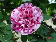'Ferdinand Pichard' Rose Photo
