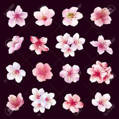 Set of different beautiful cherry tree flowers isolated on black background. Big collection of pink purple white sakura blossom japanese cherry tree. Elements of floral spring design.