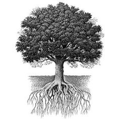Oak tree with roots
