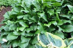 Royal Standard Hosta - Shade Perennial Sun Tolerant Fragrant Hosta Plant