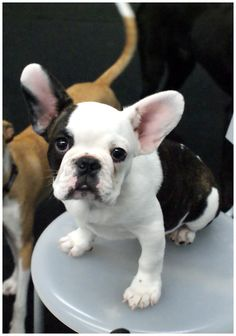 French Bulldog Puppy. Look at those ears! Can't wait to have one!! Limited Edition French Bulldog Tee http://teespring.com/lovefrenchbulldogs