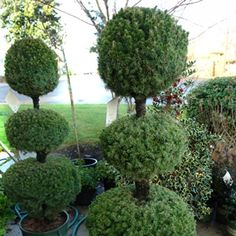 alberta spruce topiary | Dwarf Alberta Spruce Picea glauca 'Conica' Cream/Beige