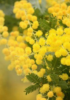 mimosa Mimosas, Beautiful Gardens, Beautiful Flowers, Le Mimosa, Flowering Trees, Green Flowers, The Fresh, Belle Photo, Garden Plants