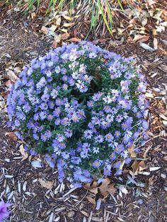 Aster full of blooms!