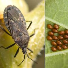 How to Deal with Squash Bugs and Squash Bug Eggs