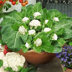 Growing cauliflower plant in containers or pots on the roof. Now we can easily cauliflower vegetable farming in container on roof. Regrow Vegetables, Home Grown Vegetables, Container Gardening Vegetables, Organic Vegetables, Vegetable Gardening, Regrow Celery, Veggie Gardens, Growing Tomatoes From Seed, Growing Tomatoes In Containers