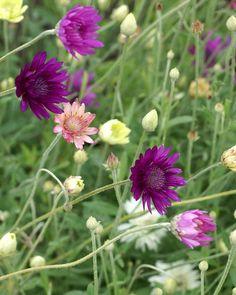 http://faaxaal.forumactif.com/t1721-photos-de-fleurs-xerantheme-annuel-immortelle-annuelle-xeranthemum-annuum-xeranthemum-inodorum