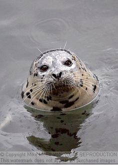 Buddy the Harbor Seal, Depot Bay, Oregon. Met him when some friends and I chartered a deep-sea fishing trip out of Depot Bay. He sat and waited for the scraps as they harbor workers cleaned the fish for us. Beautiful Ocean, Animals Beautiful, Depoe Bay Oregon, Harbor Seal, West Coast Road Trip, Deep Sea Fishing, Sea Otter, Ocean Creatures, Underwater World