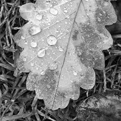 The Textures of Autumn. Shot at #stratfordparkstroud whilst walking around the grounds searching for Pinecones #stroud #swisbest #dew #autumn #gloucestershire #jasongardnerconway #leaf . . . . . @focalmark #bnw_captures #fotoclub_bnw #rsa_bnw #bnw_sniper  #unopix_bnw #match_bw #bw_divine #ig_energy_bw #nature_perfection #awesome_earthpix #ourplanetdaily #fantastic_earth #unlimitedplanet #earth_deluxe #allnatureshots #jaw_dropping_shots  #focalmarked