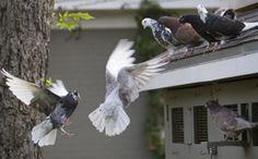 nbrc pigeon