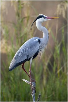 Drawn bird grey heron - pin to your gallery. Explore what was found for the drawn bird grey heron Pretty Birds, Beautiful Birds, Animals Beautiful, Cute Animals, Exotic Birds, Colorful Birds, Sea Birds, Wild Birds, Ardea Cinerea