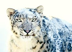 Snow Leopard in the snow