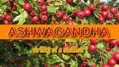 Ashwagandha belongs to the Solanaceae family and its scientific name is Withania somnifera. It is also known as Indian ginseng or winter cherry. In Sanskrit,. Barley Health Benefits, Camping Appetizers, Netflix Gift Card, Sweet Cocktails, Dog Food Brands, Coffee Quotes, Colorful Pictures, Easy Dinner Recipes, Dog Food Recipes