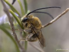 Long horned by alfanhuí . Macro Photography, Bees, Insects, Animals, Animales, Animaux, Animal Memes, Animal, Animais