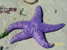 purple starfish at low tide by ~rubies52 on deviantART900 x 675267.3KBrubies52.deviantart.com