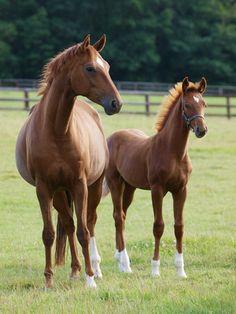 Horses: breeding, domestication and feedstuffs