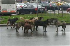 Stray Dogs in Bucharest - this is my dog´s beginning