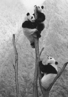 pandas climbing tree