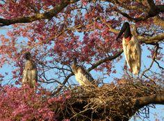 Tuiuiú giant stork with chicks