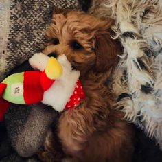 "Buddy on Instagram: ""Already planning my Christmas list!! 🎄🐶❤️🐶🎄 #maltipoo #puppy #maltipoopuppy #dogsofinstagram #puppies #puppiesofinstagram #puppylove…"" My Christmas List, Maltipoo, Puppy Love, Puppies, How To Plan, Instagram, Puppys, Pup, Doggies"