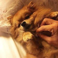 Please Don't Stop Rubbing My Belly, I'm Watching You Good Night Every Pawdy Friends⭐️ Lutfen Gobusumu Oksamayi Birakma, Seni Izliyorum Iyi Geceler Patili Arkadaslarim⭐️ #pom #pomeranian #dogs #dog #dogsofinstagram #dogoftheday #instagramdogs #pet #pets #boo #photooftheday #picoftheday #instamood #instagood #smile #happy #friends #turkey #iyigeceler #goodnight #aşk #love #cute #adorable #puppy #animals #beautiful