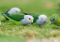 Download suara lovebird madagaskar – Memelihara burung memang bisa menjadi salah satu hobi yang menyenangkan. Suara indah yang dihasilkan dari burung bisa menjadi penghidup suasana pada rumah Anda.