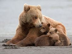 What sets grizzly bears, also known as brown bears in coastal Alaska and Canada, apart from other species of bears?
