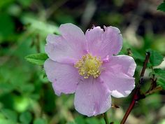 Wild Rose & Spider by A.South Photography, via Flickr
