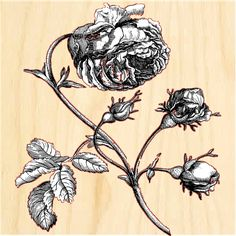"""PHOB1212-rose This is a Beautiful Old Rose Shown here is a gorgeous Black and White Illustration  of a big droopy Cabbage Rose, with a few Rosebuds attached. Wonderful detail on this one! Nice for your Garden themed room…  such a great Shabby look! Order on Birch wood panel 12""""x 12"""" 