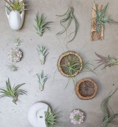 Tons of new air plants in the Garden Rooms right now! Check out our new display…