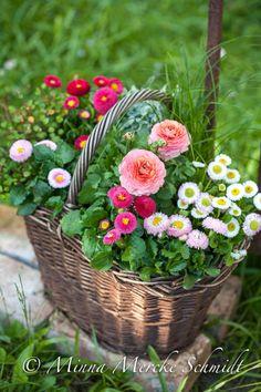 Nu börjar det fyllas i plantbutikerna... vårblommor! Här visar jag fem varianter. Ovan bara bellis, långblommande söt liten sak som fin...