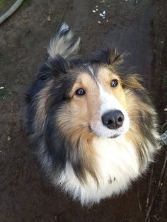 I've never seen a Sheltie, that I didn't love❤️❤️❤️❤️