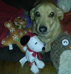 My little Dachshund - Jack Russell mix pup, Abby, with her Christmas lovies.  She loves cuddly toys!